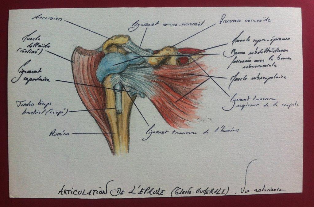 Articulation-de-lepaule-anterieure-2.JPG