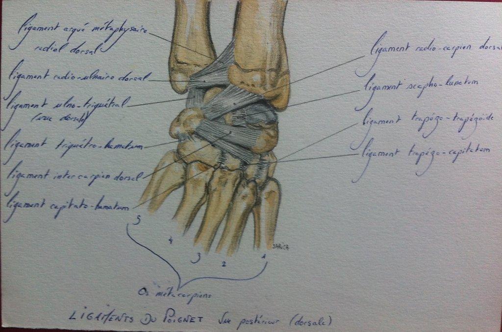 Ligaments-du-poignet-dorsale.JPG