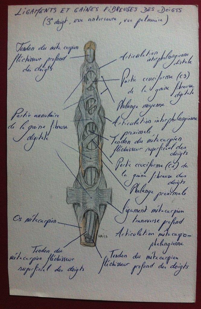 Ligaments-et-gaines-fibreuses-des-doigts.JPG