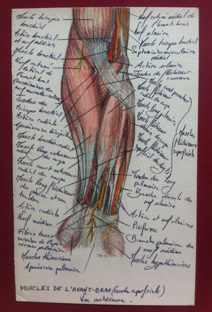 Muscles-de-lavant-bras-couche-superficielle-vue-anterieure.JPG