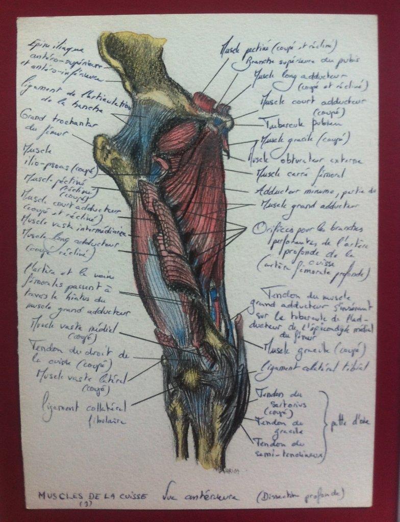 Muscles-de-la-cuisse-anterieure-3.JPG