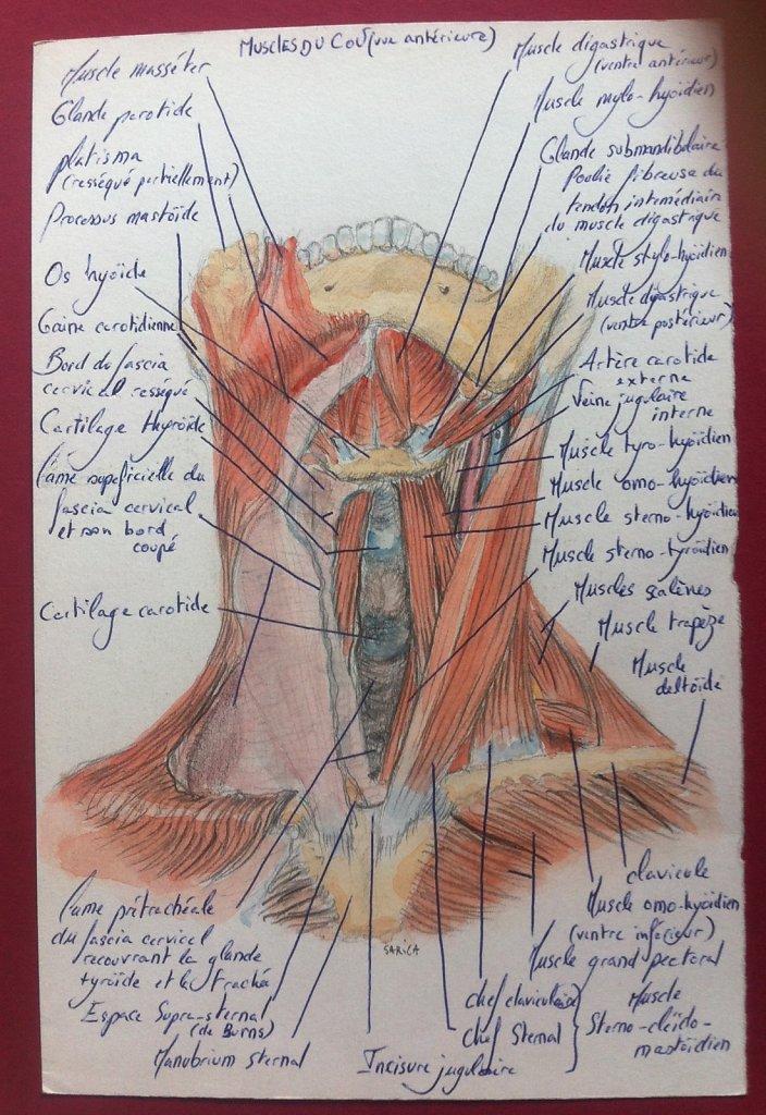 Muscles-du-cou-vue-anterieure.JPG