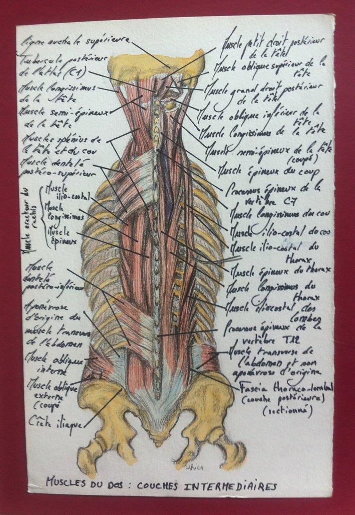Muscles-du-dos-couche-intermediaire.JPG