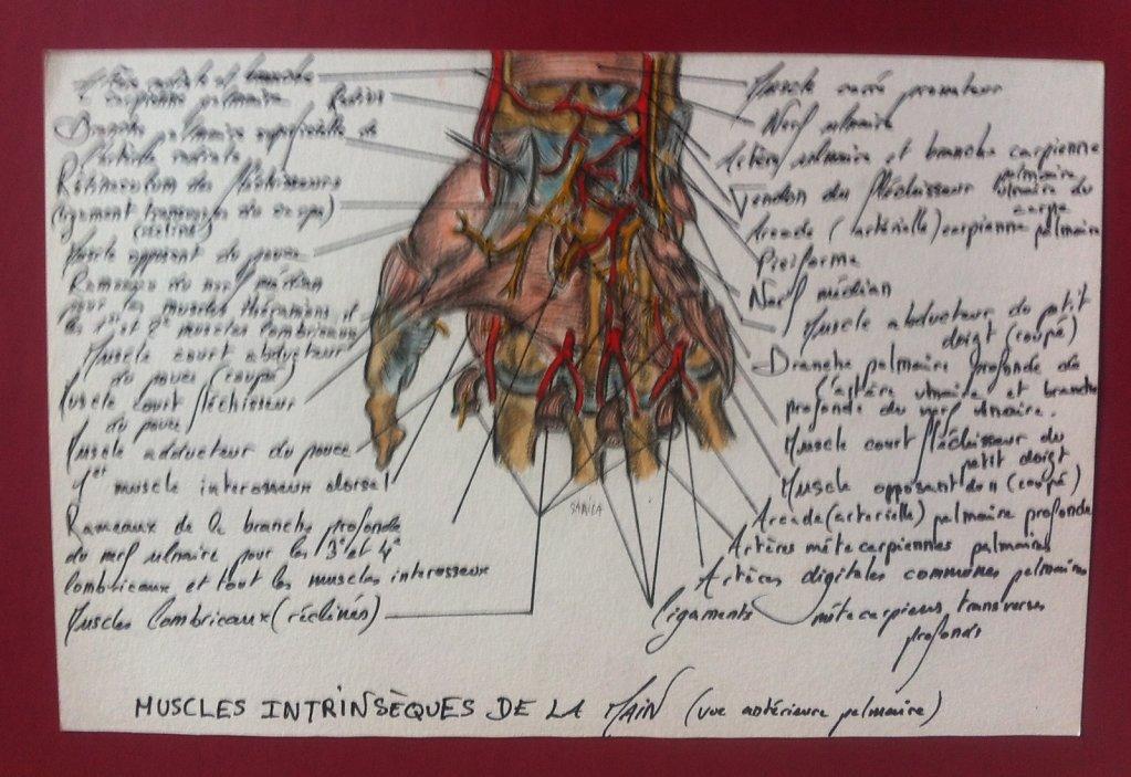 Muscles-intrinseques-de-la-main.JPG