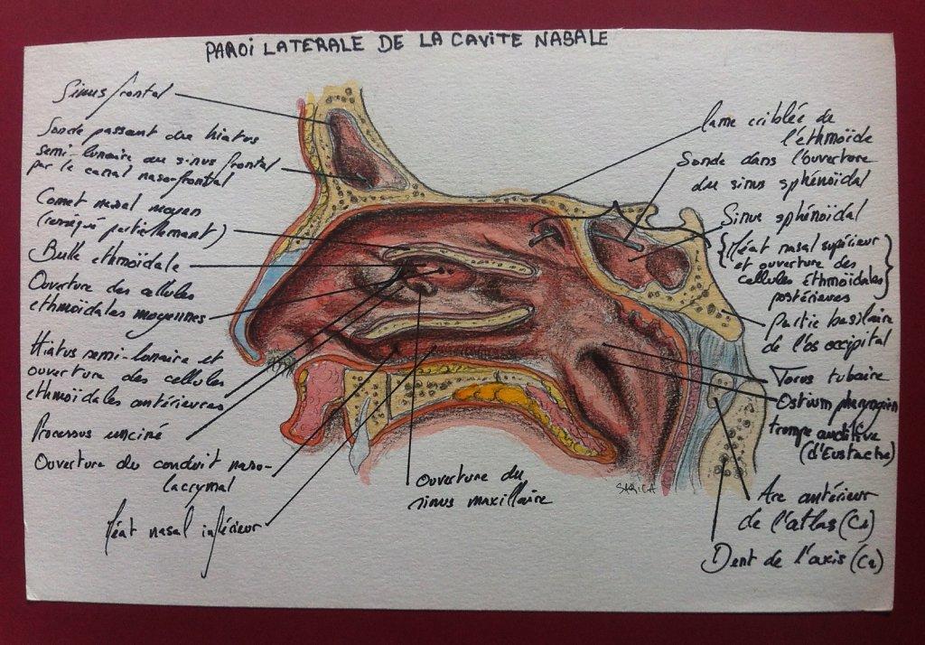 Paroi-laterale-de-la-cavite-nasale-2.JPG
